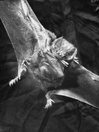 Vampire Bat Cleaning Itself
