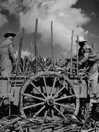 Farm Hands Working on a Sugar Cane Farm