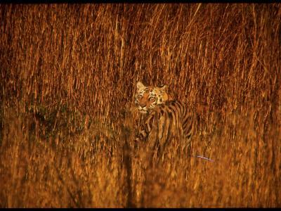 Tiger, Camouflaged Amidst Tall, Golden Grass, Setting Out at Dusk for Night of Hunting