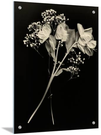 Wilted White Rose and Baby's Breath in Black and White