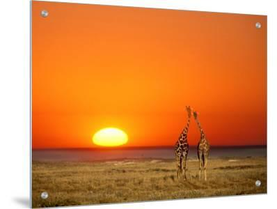 Giraffes Stretch their Necks at Sunset, Ethosha National Park, Namibia