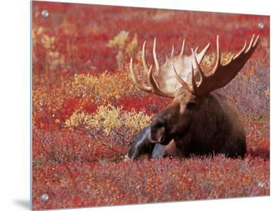 Bull Moose in Denali National Park, Alaska, USA