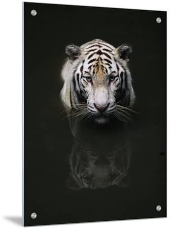 White Tiger Head Portrait Reflected in Water, India