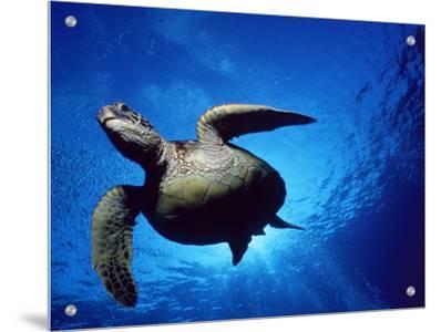 Green Turtle Swimming, Hawaii, Pacific Ocean, Underside View