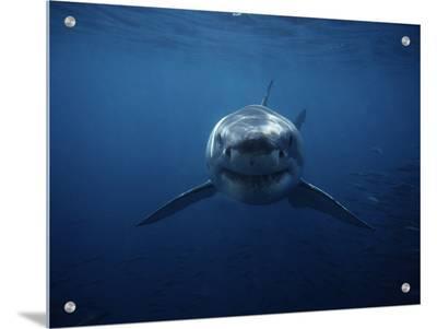 Great White Shark, Swimming, South Australia