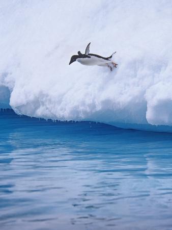 Adelie Penguin Plunging into Water, Pygoscelis Adaliae, Antarctica