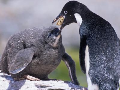 Adelie Penguin Feeding its Chick with Regurgitated Food, Pygoscelis Adeliae, South Orkney Islands