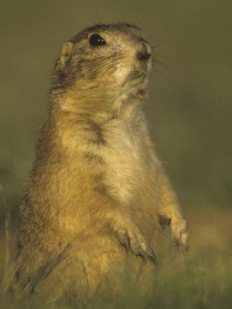 Black-Tailed Prairie Dog Sitting in its Grassland Habitat, Cynomys Ludovicianus, Western USA