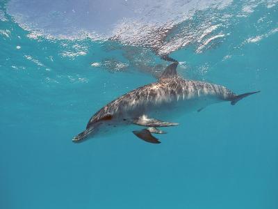 Atlantic Spotted Dolphin, Stenella Frontalis, Usa, Fl, Florida, Atlantic Ocean