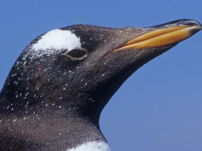 Gentoo Penguin Head, Pygoscelis Papua, Falkland Islands