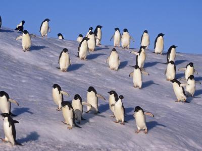 Adelie Penguins on an Iceberg, Pygoscelis Adeliae, Antarctica