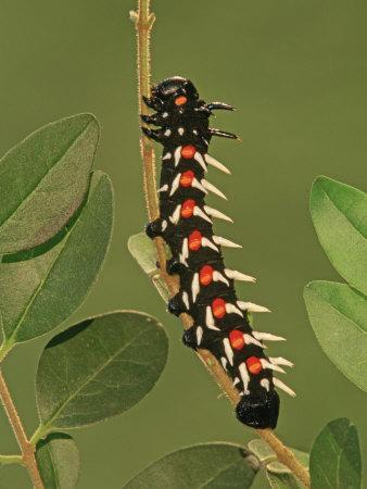 Common Emperor Moth Larva or Caterpillar (Bunaea Alcinoe), Family Saturniidae, South Africa