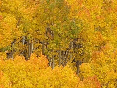 Aspens, Populus Tremuloides, in their Autumn Glory. Western USA