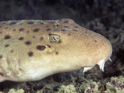Ocellated Epaulette Shark Head (Hemiscyllium Ocellatum), Great Barrier Reef, Australia