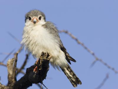 A Pygmy Falcon, Polihierax Semitorquatus, Africa