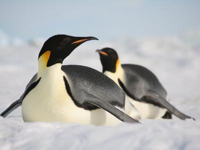 Emperor Penguin Sliding on Ice. Snow Hill Island Colony, Antarctica