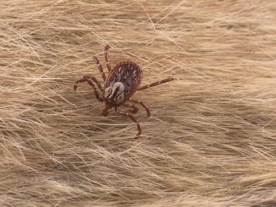 Adult Female Gulf Coast Tick, Amblyomma Maculatum