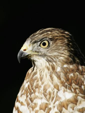 Merlin Head Showing its Eye and Bill, Falco Columbarius, North America