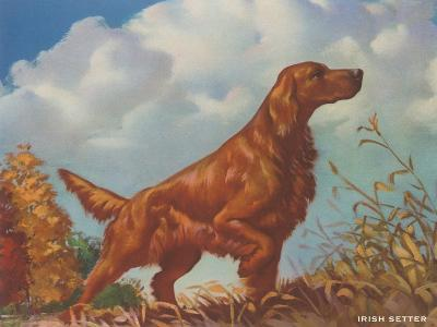 Irish Setter Pointing