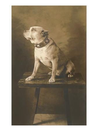 Pit Bull on Table with Collar
