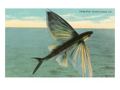 Flying Fish, Catalina, California