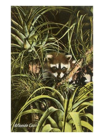 Florida Coon, Pineapples