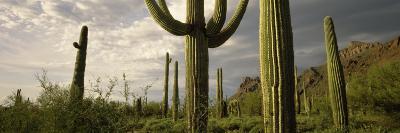 Saguaro Cactus on a Hill, Organ Pipe Cactus National Monument, Pima County, Arizona, USA