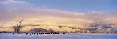 Herd of Cattle Grazing in a Snow Covered Field, Taos Mountain, New Mexico, USA