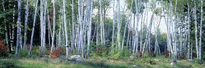 Downy Birch Trees in a Forest, Shelburne, Coos County, New Hampshire, USA