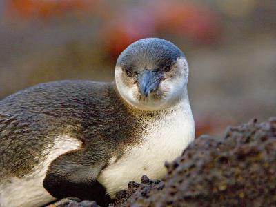 Close-up of a Galapagos Penguin, Ecuador