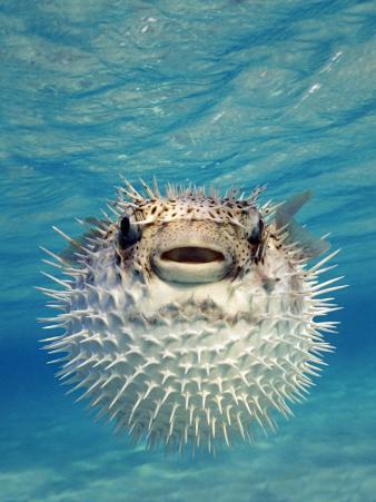 Close-up of a Puffer Fish, Bahamas