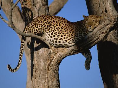 Leopard in Tree, Okavango Delta, Botswana, Africa