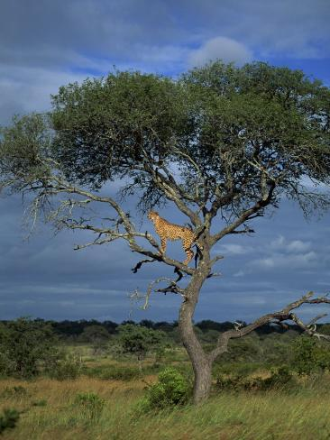 cheetah in a tree, kruger national park, south africa, africacheetah in a tree, kruger national park, south africa, africa photographic print by paul allen at allposters com