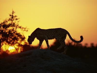 Cheetah, Okavango Delta, Botswana, Africa