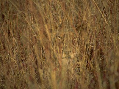 Portrait of a Lioness Hiding and Camouflaged in Long Grass, Kruger National Park, South Africa