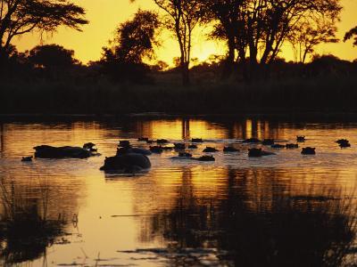 Tranquil Scene of a Group of Hippopotamus in Water at Sunset, Okavango Delta, Botswana