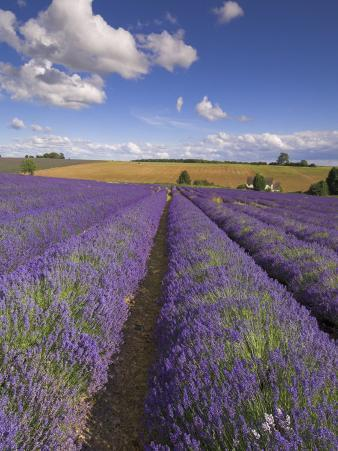 Rows of Lavender Plants, Broadway, Worcestershire, Cotswolds, England, UK