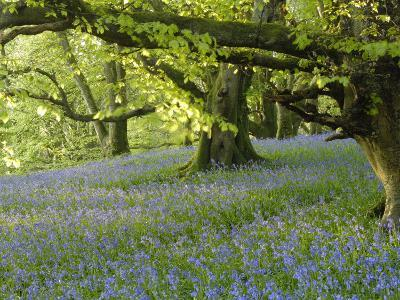 Bluebells in Carstramon Wood, Fleet Valley, Dumfries and Galloway, Scotland