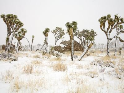 Rare Winter Snowfall, Joshua Tree National Park, California, USA