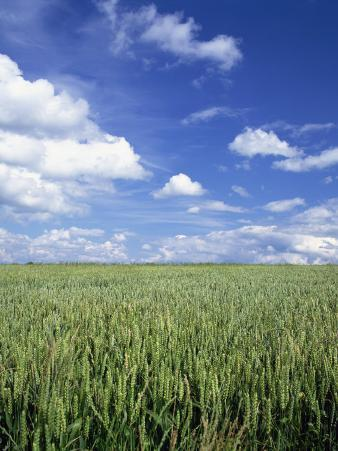 Wheat Field and Blue Sky with White Clouds in England, United Kingdom, Europe