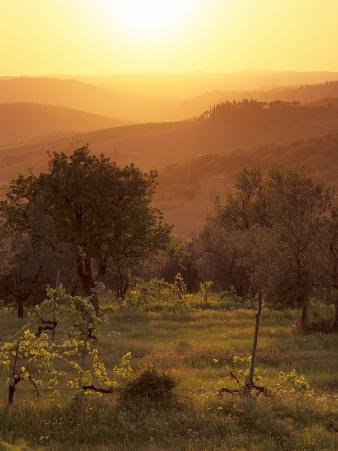 Sunset over Vineyards Near Panzano in Chianti, Chianti, Tuscany, Italy, Europe