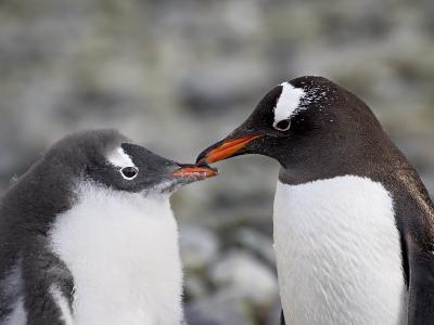 Gentoo Penguin Adult and Chick, Ronge Island, Antarctic Peninsula, Antarctica