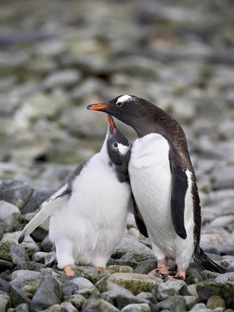 Gentoo Penguin Adult with Chick Begging for Food, Ronge Island, Antarctic Peninsula, Antarctica