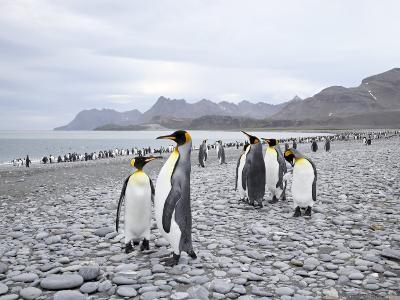 King Penguins on Stony Beach, Salisbury Plain, South Georgia, Polar Regions