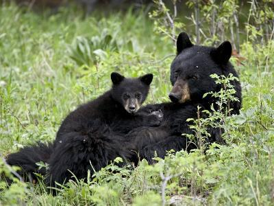 Black Bear Sow Nursing a Spring Cub, Yellowstone National Park, Wyoming, USA