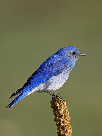 Male Mountain Bluebird, Douglas County, Colorado, USA