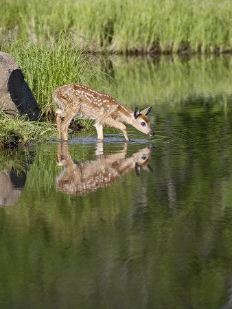 Captive Whitetail Deer Fawn and Reflection, Sandstone, Minnesota, USA