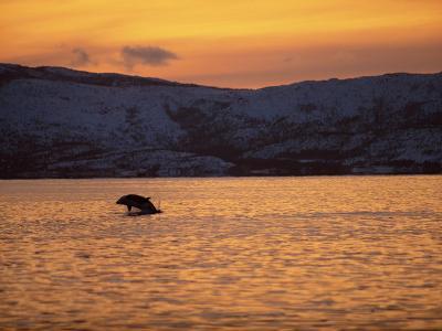 Breaching Killer Whale, Tysfjord, Norwegian Arctic, Norway, Scandinavia, Europe