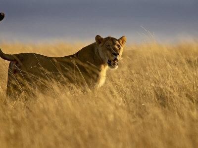 Young Male Lion in Early Light, Masai Mara National Reserve, Kenya, East Africa