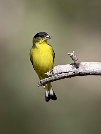 Male Lesser Goldfinch, Chiricahua National Monument, Arizona, USA